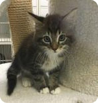 Domestic Longhair Kitten for adoption in Madisonville, Tennessee - Riddle