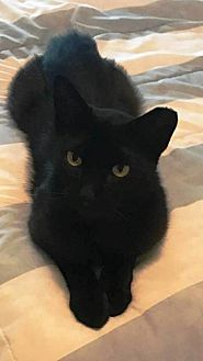 Domestic Shorthair Cat for adoption in Tampa, Florida - Chopper