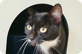 Domestic Shorthair Cat for adoption in Sarasota, Florida - Princesa
