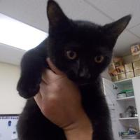 Domestic Shorthair/Domestic Shorthair Mix Cat for adoption in Palm Coast, Florida - Puddin