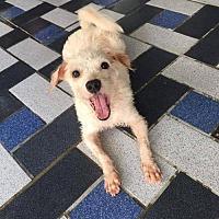 Adopt A Pet :: 'CHI MI' - Agoura Hills, CA