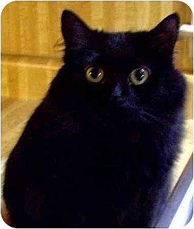Domestic Mediumhair Cat for adoption in Lilburn, Georgia - Marley