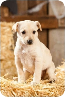 Labrador Retriever Mix Puppy for adoption in Portland, Oregon - Joplin