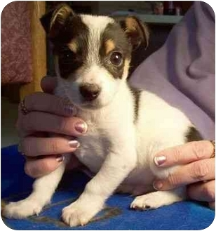 Jack Russell Terrier/Rat Terrier Mix Puppy for adoption in North Judson, Indiana - Beau