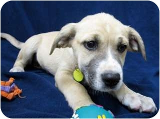 Boxer/Pointer Mix Puppy for adoption in Westminster, Colorado - CALAMITY JANE