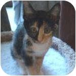 Domestic Shorthair Kitten for adoption in Wheaton, Illinois - Audrey