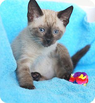Siamese Kitten for adoption in Houston, Texas - Chauncey