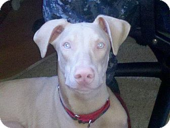 Doberman Pinscher Dog for adoption in Santee, California - Stubby