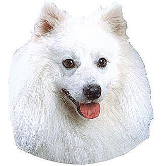 American Eskimo Dog Dog for adoption in St. Thomas, Pennsylvania - FOSTERS NEEDED
