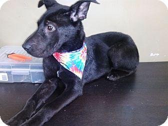 Labrador Retriever/Shar Pei Mix Dog for adoption in Lebanon, Connecticut - Holly