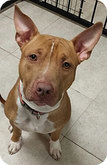 Pit Bull Terrier/Basenji Mix Dog for adoption in Struthers, Ohio - Tony  1 YR OLD