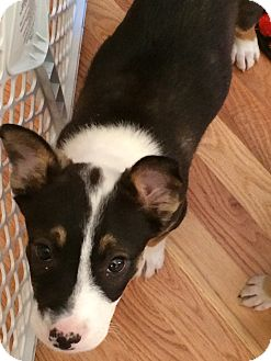 Border Collie/Shepherd (Unknown Type) Mix Puppy for adoption in Westminster, Colorado - Cee