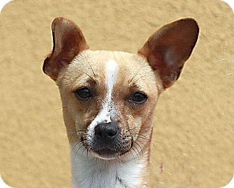 Chihuahua Mix Dog for adoption in Berkeley, California - Gloria