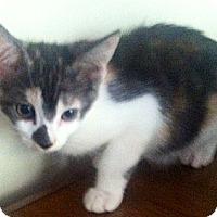 Turkish Van Cat for adoption in Cerritos, California - Smudgy