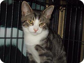 Domestic Shorthair Kitten for adoption in Centre Hall, Pennsylvania - Oakley
