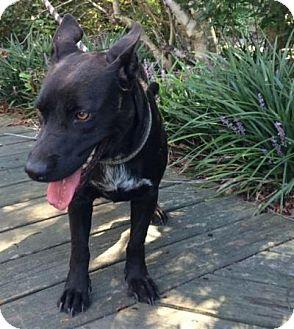 Australian Cattle Dog/Beagle Mix Dog for adoption in Irmo, South Carolina - Zoey