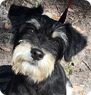 Schnauzer (Miniature) Mix Puppy for adoption in Orlando, Florida - Nova