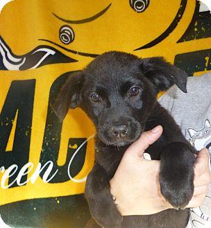 Golden Retriever/Labrador Retriever Mix Puppy for adoption in Oviedo, Florida - Jesse