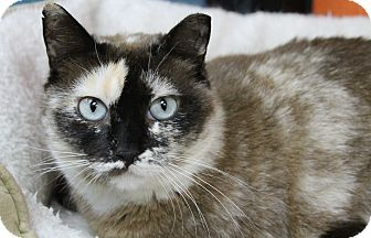 Domestic Shorthair Cat for adoption in Benbrook, Texas - Niblet