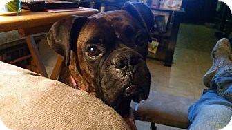Boxer Dog for adoption in Dayton, Ohio - Piper Blue