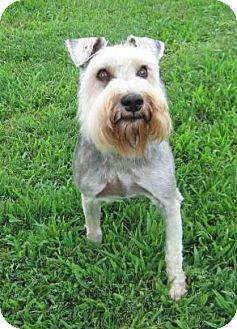 Schnauzer (Miniature) Mix Dog for adoption in Huntsville, Alabama - Charly