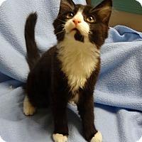 Adopt A Pet :: Scout - Bentonville, AR