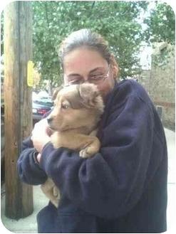 Belgian Shepherd/Golden Retriever Mix Puppy for adoption in New york, New York - susie