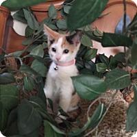 Adopt A Pet :: Aphrodite - Cranford/Rartian, NJ