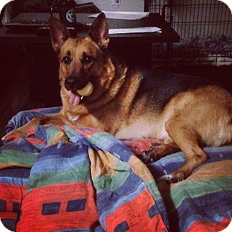 German Shepherd Dog Mix Dog for adoption in Regina, Saskatchewan - Adoption Pending - Blitz