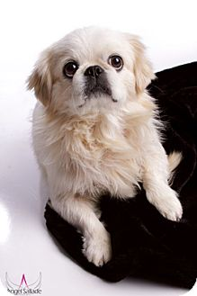 Pekingese Dog for adoption in Bloomington, Illinois - Pikachu