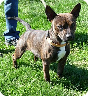 Pit Bull Terrier Mix Dog for adoption in Springfield, Illinois - Zoos