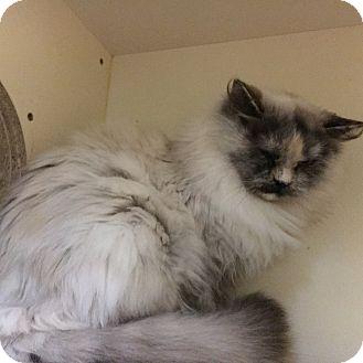 Domestic Longhair Cat for adoption in Phoenix, Arizona - Selene