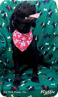 Labrador Retriever/Hound (Unknown Type) Mix Puppy for adoption in Effort, Pennsylvania - Waffle