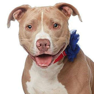 American Pit Bull Terrier Dog for adoption in Santa Monica, California - Blue