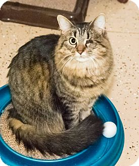 Domestic Longhair Cat for adoption in Seville, Ohio - Reagan