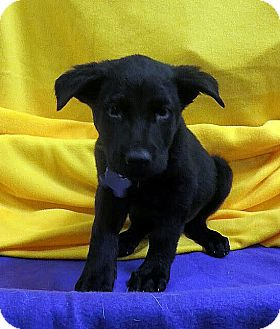 Labrador Retriever/Retriever (Unknown Type) Mix Puppy for adoption in Detroit, Michigan - Boo Black-Adopted!