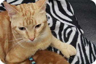 Polydactyl/Hemingway Cat for adoption in Wichita, Kansas - Mavis