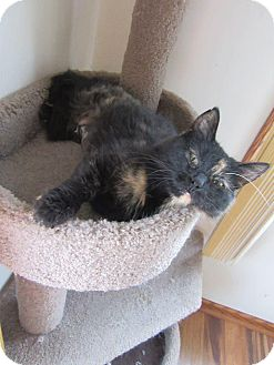 Domestic Shorthair Cat for adoption in Rochester, Minnesota - Bella Knight