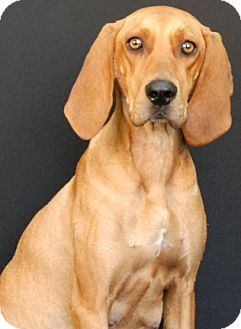Redbone Coonhound Mix Dog for adoption in Newland, North Carolina - Lady Luck