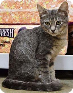 Domestic Shorthair Kitten for adoption in Houston, Texas - Barbie