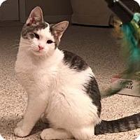 Adopt A Pet :: Patches - Merrifield, VA