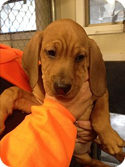 Black and Tan Coonhound Mix Puppy for adoption in Cashiers, North Carolina - Barney