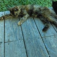 Domestic Mediumhair Cat for adoption in Morehead, Kentucky - CeCe ADULT FEMALE