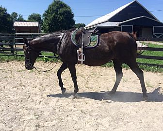 Thoroughbred for adoption in Nicholasville, Kentucky - Miss Lady Fan