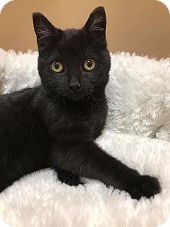 Domestic Shorthair Kitten for adoption in Maryville, Missouri - Ida
