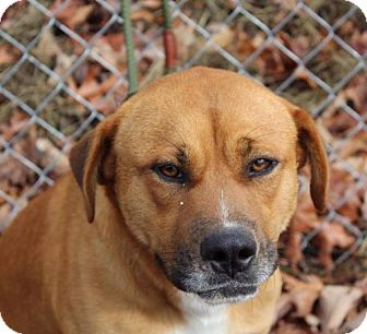 Labrador Retriever Mix Dog for adoption in Hagerstown, Maryland - George