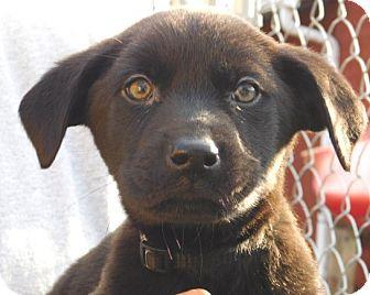 Labrador Retriever Mix Puppy for adoption in Conesus, New York - Lulu