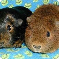 Adopt A Pet :: Dawn - Steger, IL