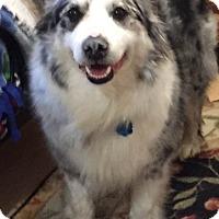 Adopt A Pet :: Ladyhawk - Minneapolis, MN