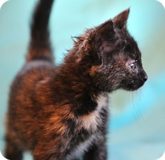 Domestic Shorthair Kitten for adoption in Hagerstown, Maryland - Poppy